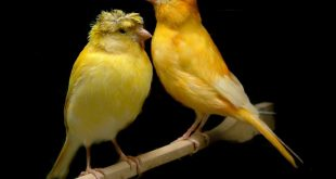 بالصور اجمل كناري في العالم , احلى انواع العصافير 1228 12 310x165