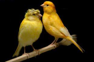 صور اجمل كناري في العالم , احلى انواع العصافير