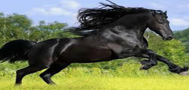 صور رؤية الحصان الاسود في المنام , تفسير مشاهدة الحصان الاسود فى الحلم