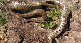بالصور رؤية الثعبان في المنام وقتله , الحلم بالثعبان وتفسير قتل الثعبان فى الحلم 997 3 310x165