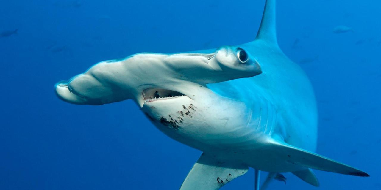 صور صور سمك القرش , شاهد صور اكثر سمك متوحش في العالم