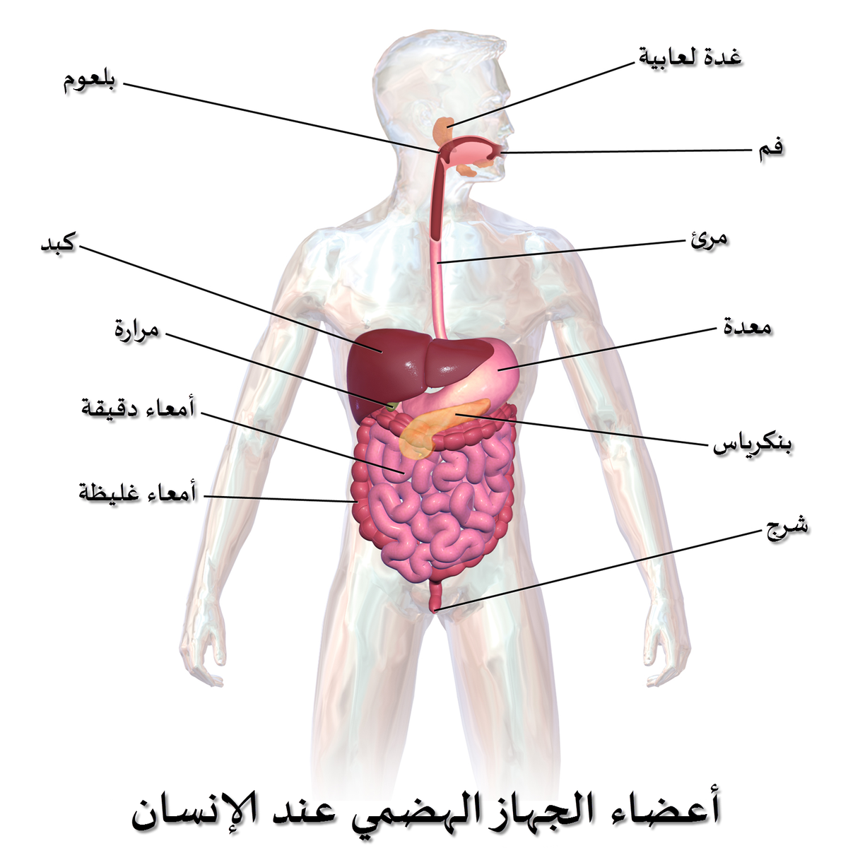 صور صور جسم الانسان , تعرف على معلومات عن جسم الانسان